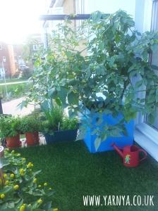 Green Fingers - Vegtable Garden on a Balcony